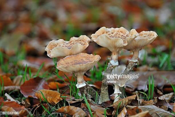 Dark honey fungus amongst leaf litter in autumn forest