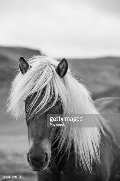 dark icelandic horse with white mane - equestrian animal stock pictures, royalty-free photos & images