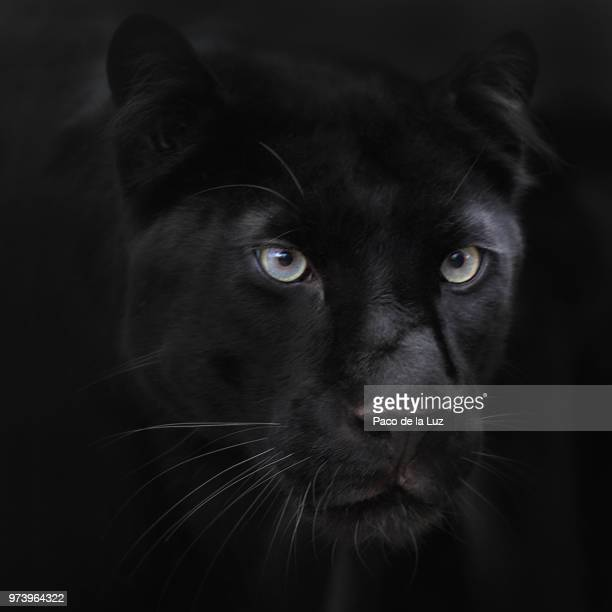 dark passenger - black panther face stock photos and pictures