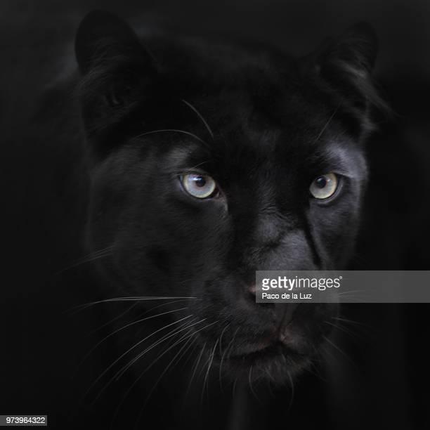 dark passenger - pantera nera foto e immagini stock