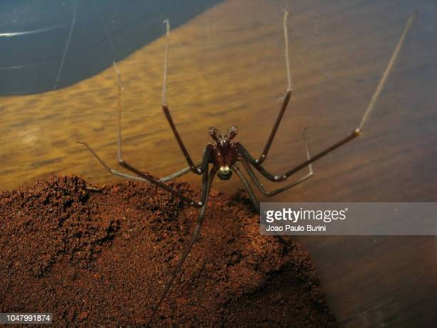 dark pattern recluse spider (loxoceles / aranha-marrom / violin spider) - brown recluse spider stock pictures, royalty-free photos & images