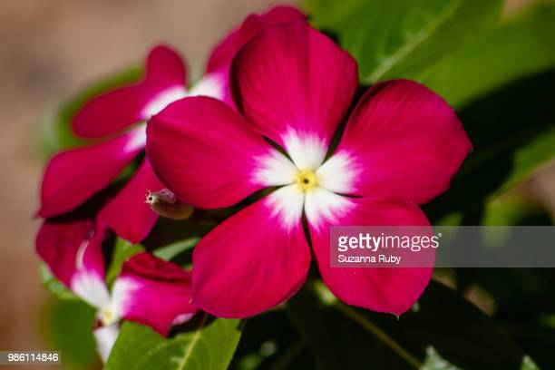 dark pink impatients - impatience flowers stock pictures, royalty-free photos & images