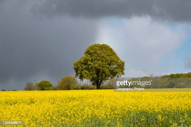 Dark rain clouds passing sunlit field of yellow oil seed rape with one oak tree standing Suffolk England UK