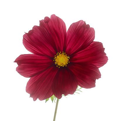 Dark red cosmos flower on white. - gettyimageskorea