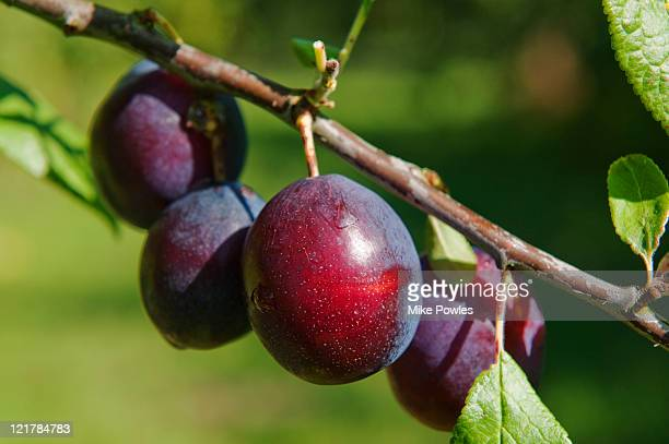 Dark Red Plums (Prunus insititia) 'Merryweather Damson'