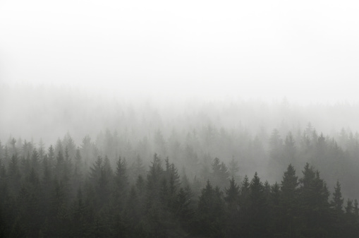 Dark Spruce Wood Silhouette Surrounded by Fog on white. 170100543