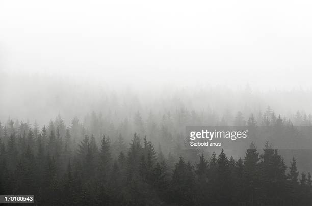 dark spruce wood silhouette surrounded by fog on white. - fog stock pictures, royalty-free photos & images