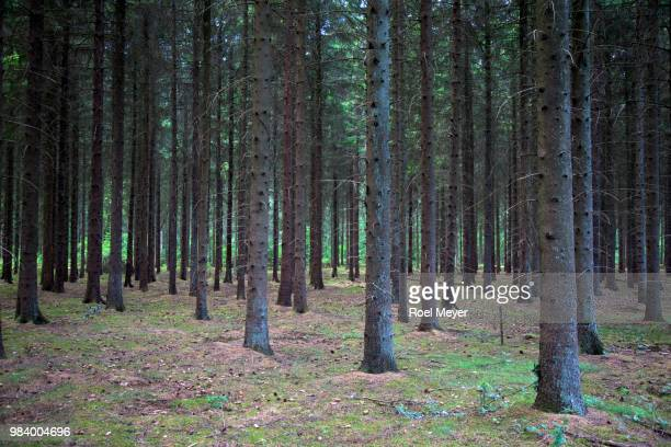 dark trunks of spruce trees - drenthe stock pictures, royalty-free photos & images