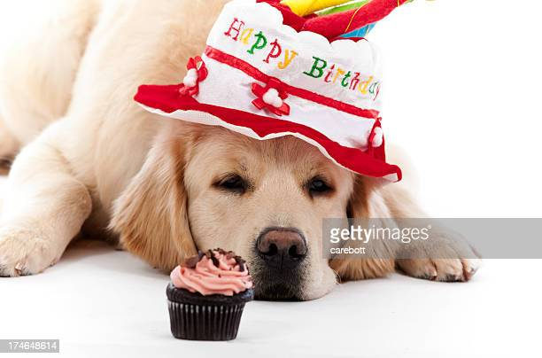 dark with a birthday hat and cake - golden retriever stock photos and pictures