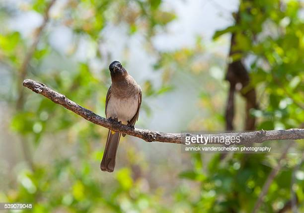 dark-capped bulbul. - nightingale bird stock pictures, royalty-free photos & images
