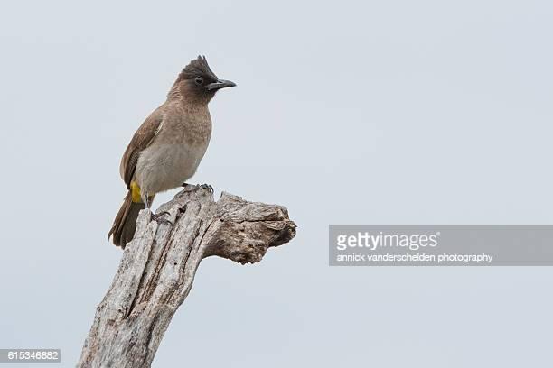 dark-capped bulbul (pycnonotus barbatus tricolor) - nightingale stock pictures, royalty-free photos & images