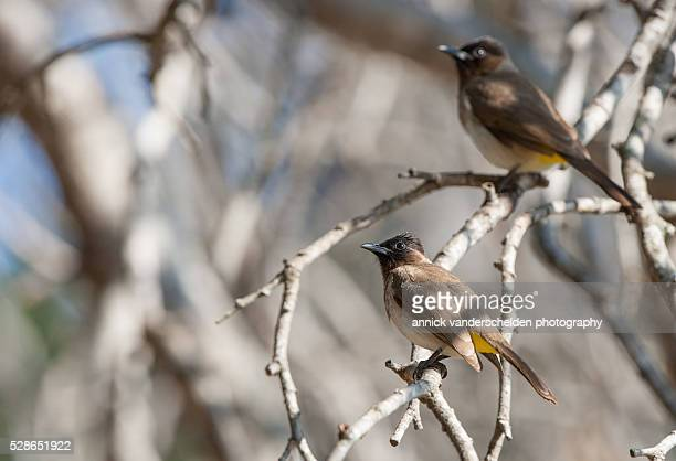 dark-capped bulbuls. - nightingale bird stock pictures, royalty-free photos & images