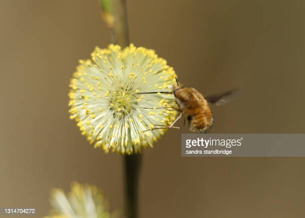 a dark-edged bee-fly, bombylius major, feeding from a pussy willow catkin. - major stock pictures, royalty-free photos & images