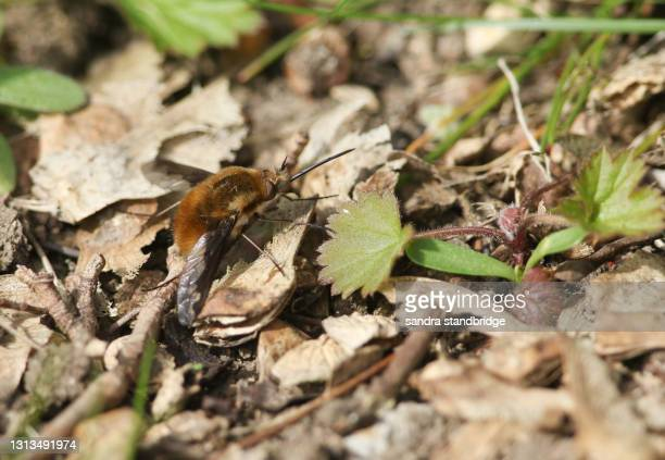 a dark-edged bee-fly, bombylius major, perched on a leaf on the ground. - major stock pictures, royalty-free photos & images