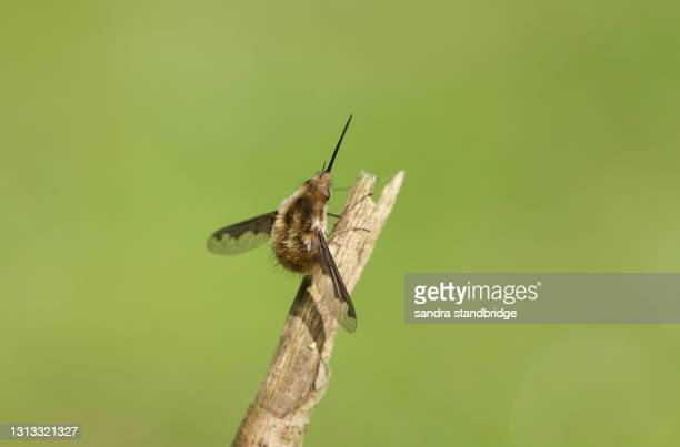 a dark-edged bee-fly, bombylius major, perched on a twig. - major stock pictures, royalty-free photos & images