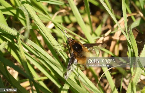 a dark-edged bee-fly, bombylius major, perching on grass in spring sunshine. - parasite stock pictures, royalty-free photos & images