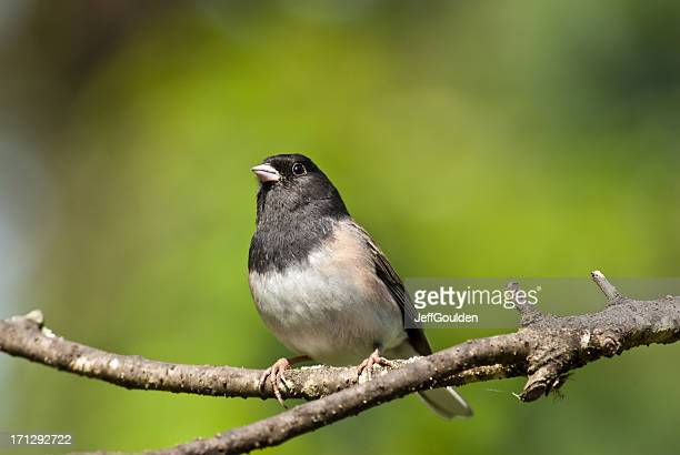 dark-eyed junco perched on a branch - jeff goulden stock pictures, royalty-free photos & images