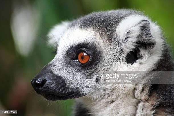 dark-eyed lemur - stephan de prouw stock pictures, royalty-free photos & images
