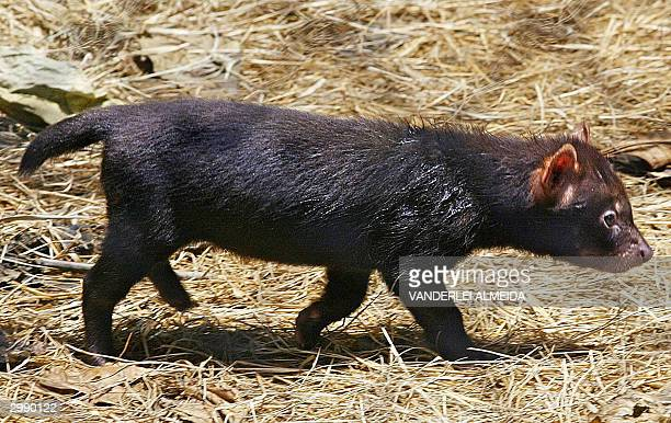 Darlene a bush dog born 27 December 2003 walks in its cage at the zoo in Rio de Janeiro Brazil 17 February 2004 The stocky and webbed feet bush dog a...