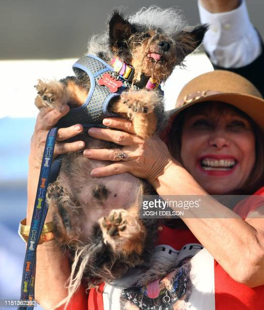 Darlene Wright holds up Scamp the Tramp as it is announced that he won first prize in the World's Ugliest Dog Competition in Petaluma California on...
