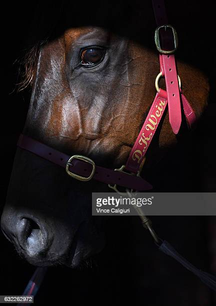 Darren Weir runner Olivier before unplaced finish in Race 7 during Melbourne Racing at Moonee Valley Racecourse on January 21 2017 in Melbourne...