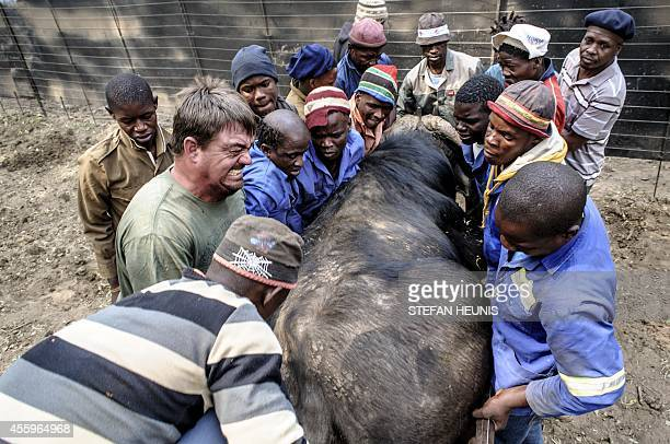 A darted buffalo who after medical checks will be sold to a breeder is lifted on September 19 2014 on a stretcher to the back of a truck on a private...