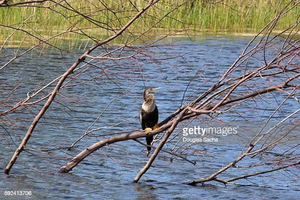 Darter bird sitting on a tree branch (Anhinga)