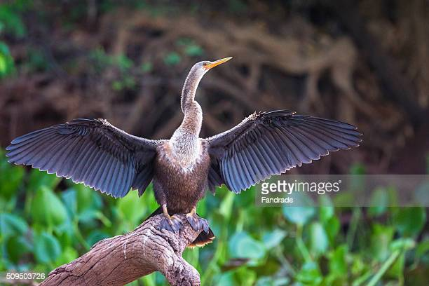 darter ( anhinga anhinga  ) in the pantanal, brazil - west central brazil stock pictures, royalty-free photos & images