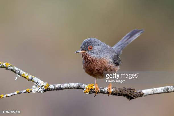 dartford warbler, (sylvia undata), perched on a branch of a tree. spain - warbler stock pictures, royalty-free photos & images