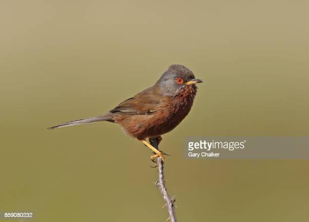 dartford warbler [sylvia undata] - keyhaven stock photos and pictures