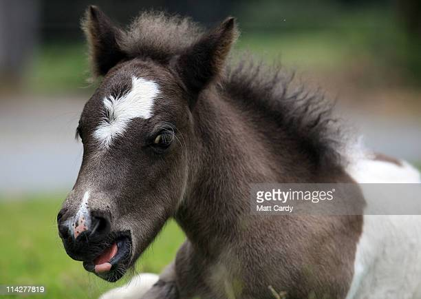 Dartmoor Hill pony foal sits with its mother on the moor on Dartmoor on May 17 2011 in Princetown England Although a tourist attraction especially...