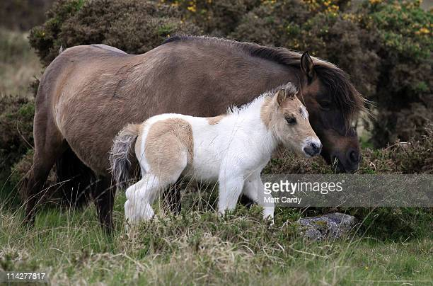 Dartmoor Hill pony foal walks with its mother on the moor on Dartmoor on May 17 2011 in Princetown England Although a tourist attraction especially...