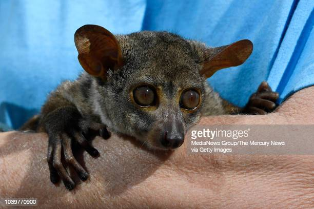 Darwin an African bush baby visits with patients during National Rehabilitation Awareness Week at John Muir Medical Center in Walnut Creek Calif on...