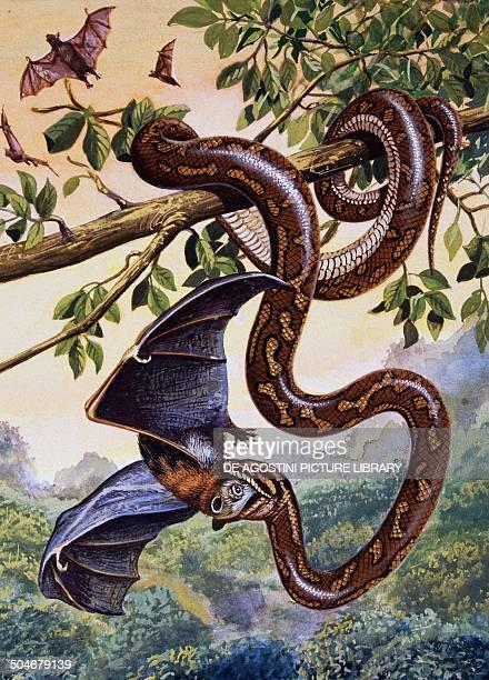 Darwin carpet python Pythonidae drawing