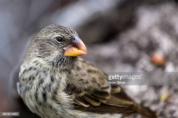 Darwin Finch, Galápagos Islands