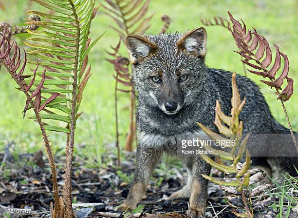 Darwins Fox (Psuedalopex fulvipes) ENDANGERED, Chiloe Island, CHILE - WILD