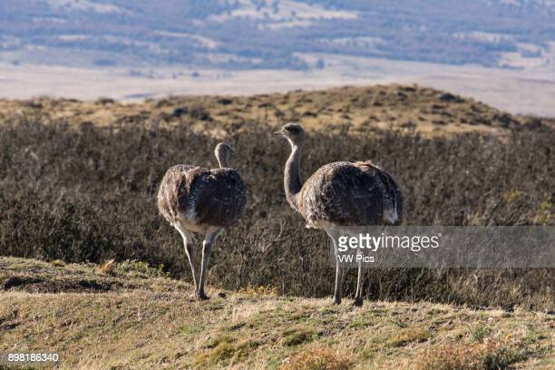 Darwin's Rhea or Lesser Rhea is a large flightless bird found in the Altiplano and Patagonia in South America Torres del Paine National Park Chile a...