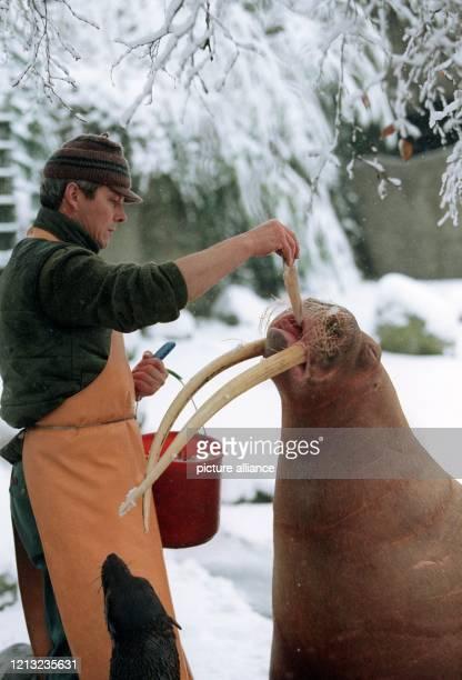 Das berühmte Walross Antje wird am 26.11.96 im verschneiten Gehege von Tierpfleger Horst Napiwocky mit Tintenfisch gefüttert. Die 20jährige Dame hat...