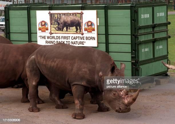 Das fünf Jahre alte Breitmaulnashorn Kai am 15.9.1996 vor seiner Reisekiste im Serengeti Safaripark Hodenhagen . Am 22. September wird der Bulle rund...