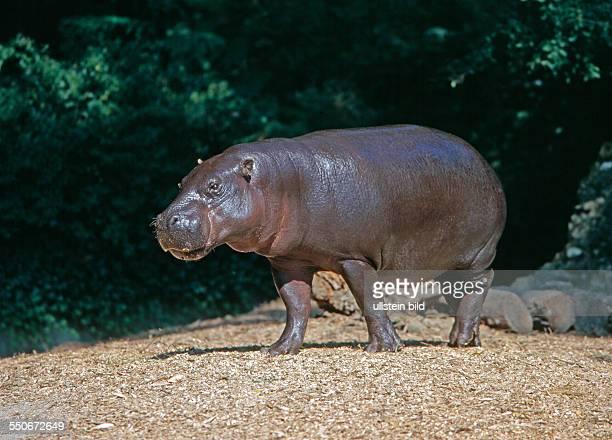 Das hausschweingrosse Zwergflusspferd ein scheues Urwaldtier lebt nur noch in sumpfigen Wakddickichten Liberias