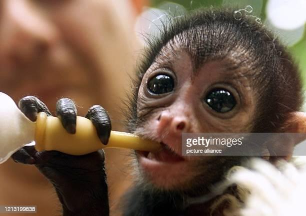 Das Klammeraffenbaby Anja nuckelt am 9.6.2000 im Wuppertaler Zoo an einer Flasche mit Babymilch, die ihr der Tierpfleger Herbert Harder anbietet und...