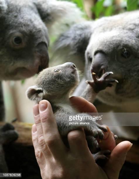 Das rund sechs Monate alte noch namenlose Koala Baby schaut am im Zoo in Duisburg zu seinen Eltern Das kleine Mädchen wurde zum Wiegen aus dem Beutel...
