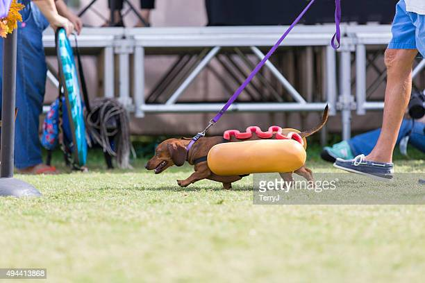 Daschshund Dressed as a Hot Dog Walking