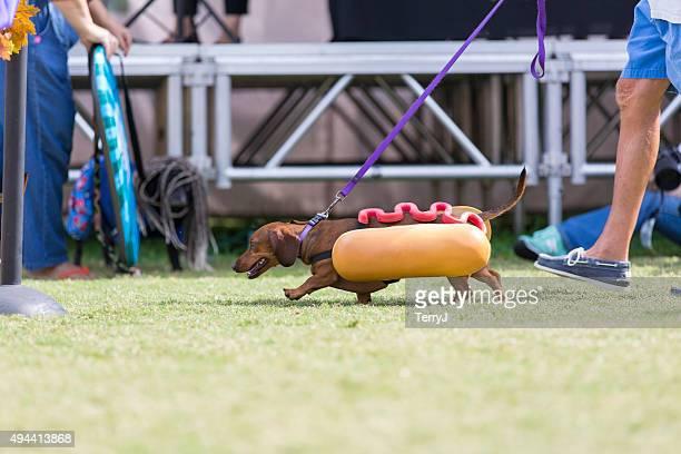 Daschshund gekleidet wie ein Hot Dog zu Fuß