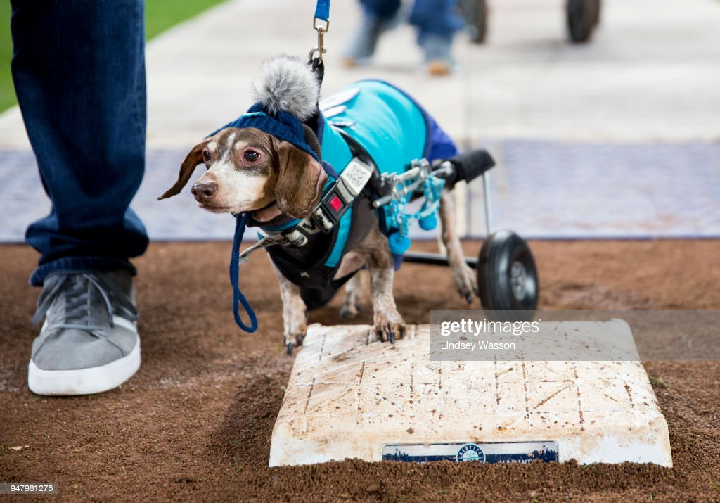 A daschund decked out in Mariners gear wheels towards first base during 'Bark at the Park' night after the game at Safeco Field on April 17, 2018 in Seattle, Washington. The Houston Astros beat the Seattle Mariners 4-1.