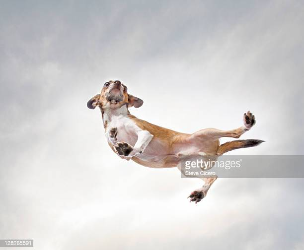 Daschund leaping in the air