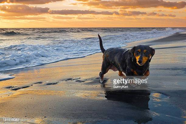 daschund on beach - dachshund holiday stock pictures, royalty-free photos & images