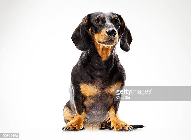 dashshund male dog portrait - dachshund stock pictures, royalty-free photos & images