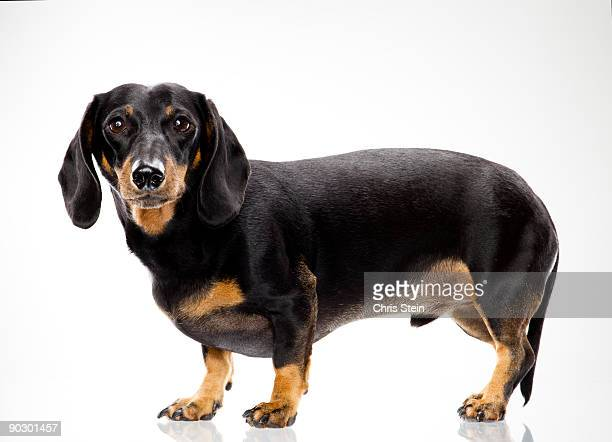 Dashshund male dog profile portrait