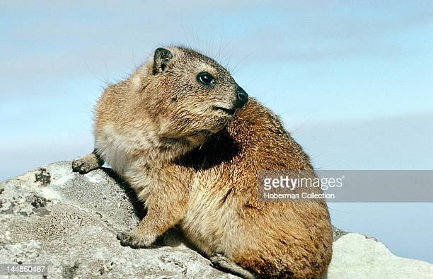 Dassie, Table Mountain, Cape Town, South Africa